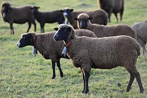 ovejas-merinas-negras-300x200